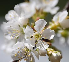 Spring Blossoms by Nancy Aldrich