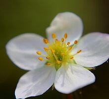 Wild Strawberry Blossom by Kathleen Daley