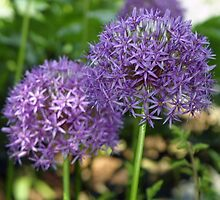 Alliums by Laurie Puglia