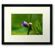 Blue-eyed Grass Unfolding Framed Print