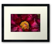 Rose Peony Framed Print