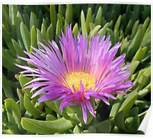 Ground Cover Cactus Bloom Poster