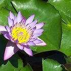 LOTUS FLOWER by gopalshroti