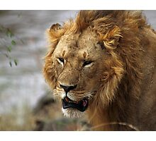 Portrait, Large Male Lion, Maasai Mara, Kenya  Photographic Print