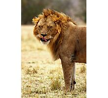 Mmmmm...Nice ! The Male Lion After Copulation, Maasai Mara, Kenya Photographic Print