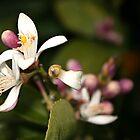 Lemon Flower by Meggzie