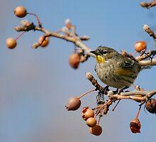 Yellow-rumped Warbler by adjohnson