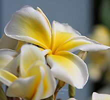 Frangipani  (Plumeria) Is Blooming by June Holbrook