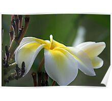 Yellow Plumeria Poster