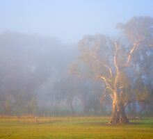 White Gum Sunrise by DawsonImages