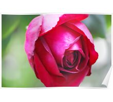 rose #1 Poster