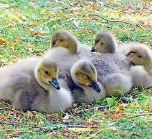Five Canada Goslings by AARDVARK