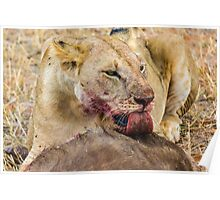 Africa - Lick from a lioness Poster