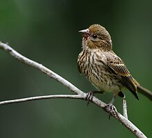 Frisky Little Finch by Bonnie T.  Barry