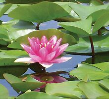 Lotus by Mary Alice Franklin