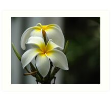 Plumeria obtusa 'Singapore White' Art Print