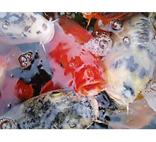 Koi in reds Photographic Print