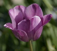 Purple Tulip by RCRimagery