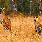 Kangaroos - Kosciusko National Park by Darren Stones