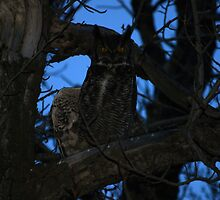 Great Horned Owl Strip Tease by Jason D. Laderoute
