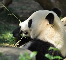 Panda Eating Bamboo by Christian Eccleston