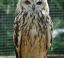 Red-Eyed Cape Eagle Owl by tshirtdesign