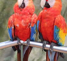 Red Macaw Parrots by tshirtdesign