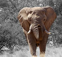 African Elephant Photography by tshirtdesign