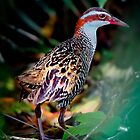 Buff-Banded Rail.... by Tracie Louise