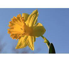Daffodil Days Photographic Print