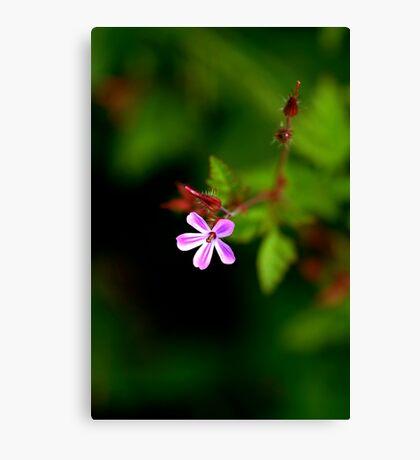 Geranium Robertianum / Herb Robert Canvas Print