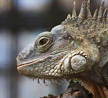 Large Iguana  by jdmphotography