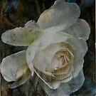 Vintage Rose by Sophie Watson