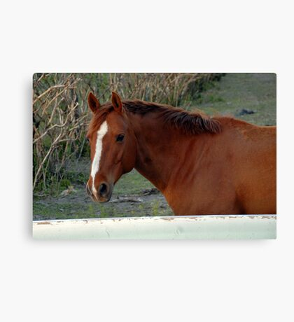 Red Horse, White Fence Canvas Print