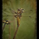 Vintage Dragonfly by Sophie Watson