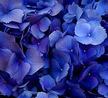 Blue Hydrangeas by AJRosera