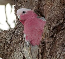 Nesting, Pink And Gray Galay (Rose Breasted Cockatoo) by Toni Kane