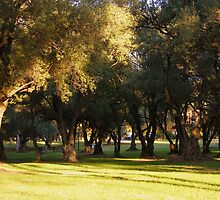 Olive grove by Kablwerk