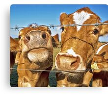 Poddy Calves Canvas Print