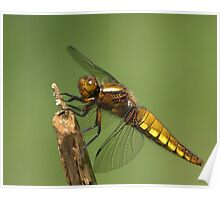 Female Broad-bodied Chaser Poster