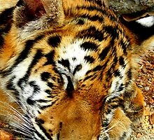 Resting Tiger by Natalie Broome