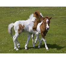 Horseplay (Shetland Ponies) Photographic Print