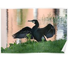 Grand Canal Cormorant Poster