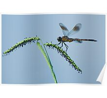 Dragonfly on Grass Seed Poster
