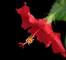 Red Hibiscus II by Tana Lee  Rebhan