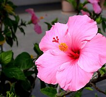 Pink Hibiscus I by Tana Lee  Rebhan