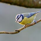 Bluetit, County Kilkenny, Ireland by Andrew Jones
