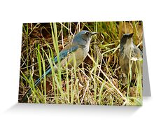 Scrub Jay - Mating Pair Greeting Card