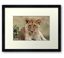 Masai Mara Lion Portrait  Framed Print