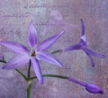Lavender Star by Judy Vincent